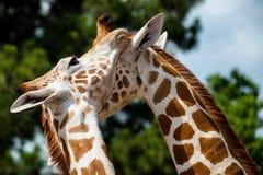 Adult giraffes grooming Stock Photo