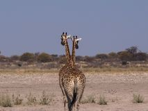 2 Giraffes walking away in Central Kalahari Game Reserve. 2 adult giraffes walking away from waterhole at Central Kalahari Game Reserve, Botswana. They walk away Royalty Free Stock Photography