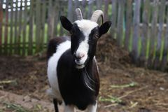 Adult goat in with big horns looks at you. And ask for some meal Royalty Free Stock Photos