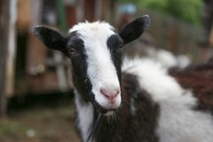 Adult goat in with big horns looks at you and ask for some meal. Or leaves Royalty Free Stock Photo