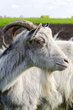 Adult goat closeup Royalty Free Stock Photo