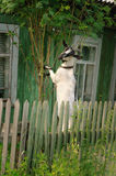 Adult goat eats twigs of Rowan Stock Photo