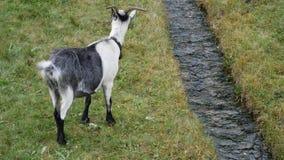 An adult goat walking around grassland stock video