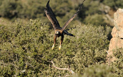 Adult golden eagle flies through the woods Stock Photos