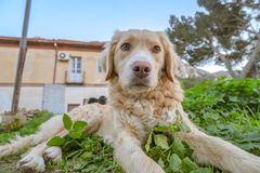 Adult Golden Retriever royalty free stock photography