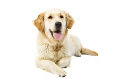 Adult Golden Retriever Stock Photography