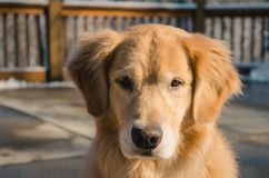 Adult Golden Retriever Close-up Photo royalty free stock photo