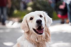 Adult Golden Retriever Close-up Photography stock photo