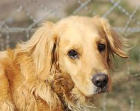 Adult golden retriever dog royalty free stock photo