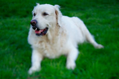 Adult Golden Retriever dog photographed with focus on his eyes. Adult Golden Retriever dog on a grass photographed with focus on his eyes royalty free stock image