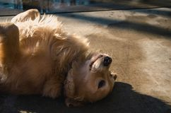 Adult Golden Retriever Lying on Concrete Road Royalty Free Stock Photography