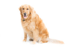 Adult Golden Retriever Sitting Looking at Camera. A 2 year old purebread golden retriever sits on a white background and looks at camera with mouth open and Royalty Free Stock Photos