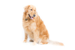 Adult Golden Retriever Sitting Looking Right. A 2 year old purebread golden retriever sits on a white background and looks right with mouth open and tongue Stock Photos