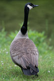 Adult Goose Back Stock Photo