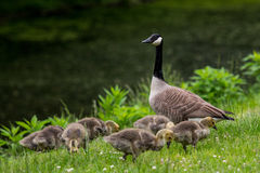 Adult Goose Keeps Watch While Chicks Search For Food Stock Photo