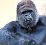 Adult gorilla. Image of a big male silverback gorilla with some expressions Royalty Free Stock Images