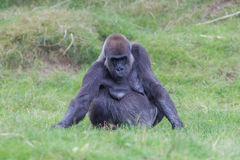 Adult gorilla resting Stock Photography