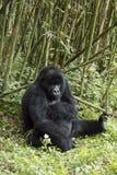 Adult gorilla in Volcanoes National Park, Virunga, Rwanda. Adult mountain gorilla in bamboo forest of Volcanoes National Park, Virunga, Rwanda, Africa Royalty Free Stock Photos