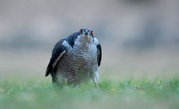 Adult goshawk monitors in the grass Stock Photos