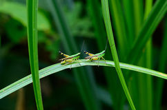 Adult grasshopper Stock Photo
