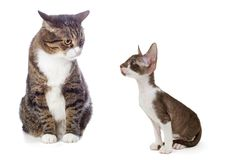 Adult gray cat and kitten Cornish Rex Royalty Free Stock Photography