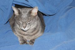 Gray cat lies under the blanket Stock Images