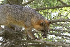 Adult Gray Fox in a Tree Stock Photo