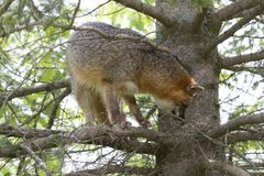 Adult Gray Fox in a Tree Royalty Free Stock Image