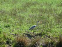 Gray heron on a meadow royalty free stock photography