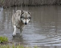 Wolf wading in a lake close to the shore Royalty Free Stock Photos
