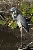 Adult Great Blue Heron Stock Image