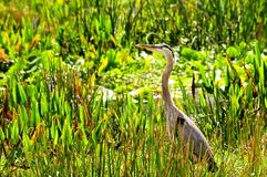 Adult great blue heron bird in wetland Royalty Free Stock Photos