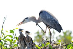 Adult Great blue heron & chicks in nest Stock Images