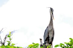 Adult Great blue heron looking after babies in nest Royalty Free Stock Images