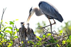 Adult Great blue heron with two chicks in nest Royalty Free Stock Photos