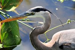 Adult great blue heron in water Stock Photos