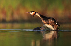 Adult Great Crested Grebe. The picture was taken in Hungary Royalty Free Stock Photography
