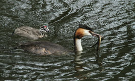 An adult Great crested Grebe Podiceps cristatus with a fish in its bill which is about to feed its cute baby. Royalty Free Stock Image