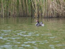 The adult great crested grebe, Podiceps cristatus on green clear lake with reeds. The adult great crested grebe, Podiceps cristatus on green clear lake with stock images