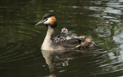 An adult Great crested Grebe Podiceps cristatus  with its cute babies riding on its backs swimming in a river. A stunning adult Great crested Grebe Podiceps Stock Images