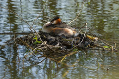 Adult Great Crested Grebe sitting on it`s nest Royalty Free Stock Photos