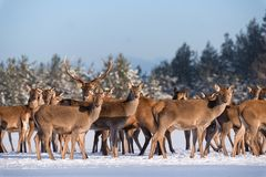 Adult Great Deer Cervus Elaphus, Surrounded By Herd Illuminated By The Morning Sun.Noble Red Deer Cervidae In Winter.Portrait Stock Photos