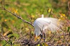 Adult great egret bird in breeding plumage in nest Stock Images