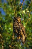 Adult Great Horned Owl. An adult great horned owl perched on a tree branch with green background stock photography