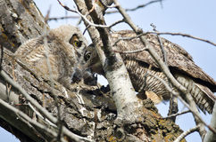 Adult Great Horned Owl Passing Captured Rodent to Young Owlet Royalty Free Stock Photos