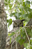Adult Great Horned Owl. Royalty Free Stock Images
