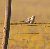An adult Great Spotted Cuckoo Stock Photo