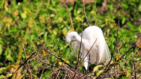 Adult great white egret bird in breeding plumage Royalty Free Stock Image
