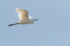 An adult Great White Heron, Great White Egret, or Great Egret, A Stock Photos