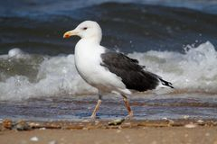 Adult Greater Black-backed Gull By The Ocean Royalty Free Stock Photography